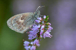 Small heath butterfly (Coenonympha pamphilus) on Common heather (Calluna vulgaris), covered in dew. Klein Schietveld, Brasschaat, Belgium. August.  -  Bernard Castelein