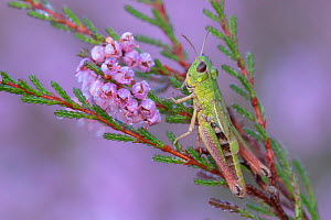 Meadow grasshopper (Pseudochorthippus parallelus) on Common heather (Calluna vulgaris), covered in dew droplets. Klein Schietveld, Brasschaat, Belgium. August.  -  Bernard Castelein