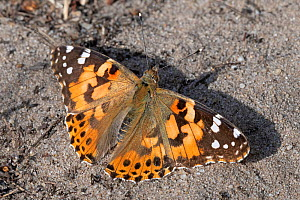 Painted lady (Vanessa cardui) butterfly resting on ground. Klein Schietveld, Brasschaat, Belgium. August. - Bernard Castelein