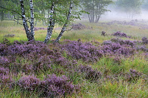 Heathland with Common heather (Calluna vulgaris) amongst Birch (Betula sp) trees, in morning mist. Klein Schietveld, Brasschaat, Belgium. August 2019.  -  Bernard Castelein