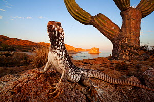 Catalina Desert Iguana (Dipsosaurus catalinensis), Catalina (Santa Catalina) Island, Loreto Bay National Park, Gulf of California (Sea of Cortez), Baja California, Mexico, May, Second place in Visions...  -  Claudio  Contreras