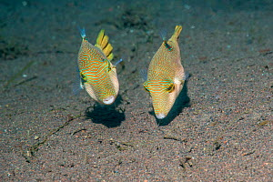 Compressed toby or Fine-spotted puffer (Canthigaster compressa) pair. Tulamben, Bali, Indonesia. - Georgette Douwma