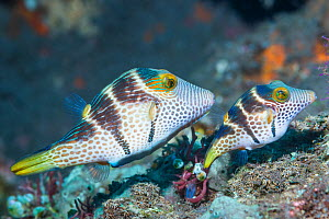 Valentini's sharp nosed puffer or Black-saddled toby (Canthigaster valentini) courting pair. Tulamben, Bali, Indonesia. - Georgette Douwma