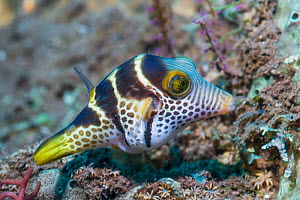 Valentini's sharp nosed puffer or Black-saddled toby (Canthigaster valentini). Tulamben, Bali, Indonesia. - Georgette Douwma
