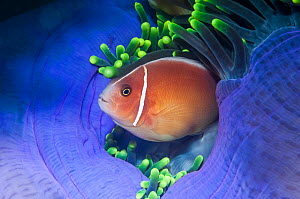 Pink anemonefish (Amphiprion perideraion). West Papua, Indonesia. Indo-West Pacific. - Georgette Douwma