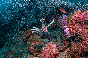 Common lionfish (Pterois volitans) hunting cardinalfish over coral reef. Andaman Sea, Thailand.  -  Georgette Douwma