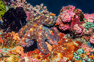 Very well camouflaged Day octopus (Octopus cyanea). West Papua, Indonesia.  -  Georgette Douwma