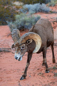 Desert bighorn sheep ram (Ovis canadensis nelsoni). Scars on face from fighting other males. Valley of Fire State Park, Nevada, USA. February.  -  John Shaw