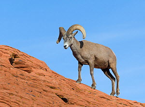 Desert bighorn sheep ram (Ovis canadensis nelsoni) on sandsone wall. Valley of Fire State Park, Nevada, USA. February.  -  John Shaw