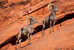 Desert bighorn sheep (Ovis canadensis nelsoni) rams on steep sandstone wall. Valley of Fire State Park, Nevada, USA. February.  -  John Shaw