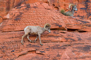 Desert bighorn sheep (Ovis canadensis nelsoni) ram steep sandstone wall. Valley of Fire State Park, Nevada, USA. February.  -  John Shaw