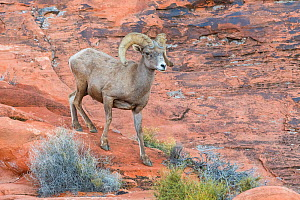 Desert bighorn sheep ram (Ovis canadensis nelsoni) descends a steep sandsone wall. Valley of Fire State Park, Nevada, USA. February.  -  John Shaw