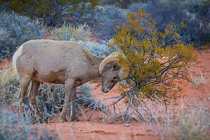 Desert bighorn sheep ram (Ovis canadensis nelsoni) rubbing against a creosote bush (Larrea tridentata). Valley of Fire State Park, Nevada, USA. February.  -  John Shaw
