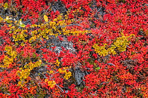 Tundra plants in autumn with Dwarf birch (Betula nana) and Bearberry (Arctostaphylos), Rypefjord / Ptarmigan Fjord, Scoresby Sund, Greenland, August. - John Shaw