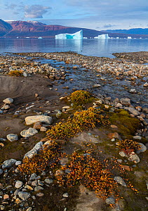 Dwarf willows add color along a small glacial stream before icebergs in Hare Fjord, Scoresby Sund, Greenland, August. - John Shaw
