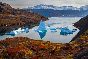 Icebergs and autumn tundra near Rode O (Red Island) in Rode Fjord (Red Fjord), Scoresby Sund, Greenland, August. - John Shaw