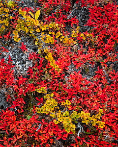 Tundra plants in autumn with Dwarf birch (Dwarf birch) and Bearberry (Arctostaphylos), Rypefjord (Ptarmigan Fjord), Scoresby Sund, Greenland, August.  -  John Shaw