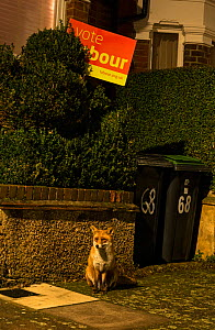 Red Fox (Vulpes Vulpes) standing in front of Vote Labour sign on the London streets North London,  England  -  Matthew Maran