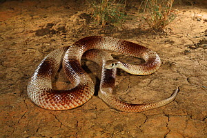Speckled brown snake (Pseudonaja guttata) from Avon Downs, Barkly Tableland, Northern Territory, Australia. Controlled conditions  -  Robert Valentic