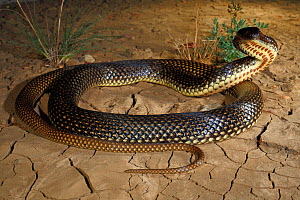 Ingram's Brown Snake (Pseudonaja ingrami) male adopting a typical defensive posture, Hamilton Channels near Boulia in far western Queensland, summer. Controlled conditions  -  Robert Valentic