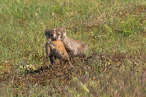 American badger (Taxidea taxus) female with Black-tailed Prairie Dog (Cynomys ludovicianus) prey she is taking to her cubs in their burrow. Custer State Park, South Dakota, USA. July.  -  Charlie  Summers
