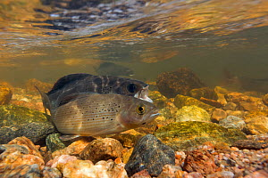 Arctic grayling (Thymallus arcticus) male gaping at the approach of another male in the background. North Park, Colorado, USA. June.  -  Charlie  Summers