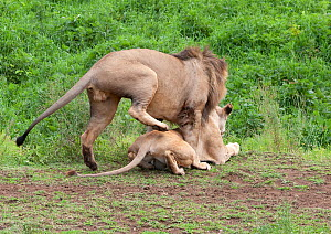 Lion (Panthera leo) ready to mount female, Ngorongoro Crater, Tanzania.  -  Charlie  Summers