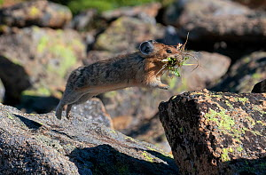 American Pika (Ochotona princeps) leaping from one alpine rock to another as it heads to its home carrying food for the winter months. Rocky Mountain National Park, Colorado, USA. August.  -  Charlie  Summers