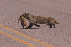 American badger (Taxidea taxus) crossing a major South Dakota highway with a Black-tailed Prairie Dog (Cynomys ludovicianus) firmly in its grasp. This is a female, a nursing mother, that was returning...  -  Charlie  Summers