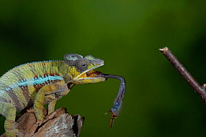 Panther chameleon (Furcifer pardalis) catching Locust with tongue. Controlled conditions.  -  Adrian Davies