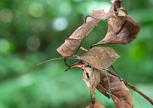 Leaf mimic katydid (Mimetica sp) disguised amongst dead leaves. Costa Rica.  -  Adrian Davies