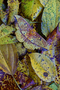Ormondei Imperial Moth (Eacles ormondei) Camouflaged in leaf litter. Costa Rica.  -  Adrian Davies
