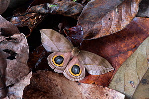 Saturnid moth (Automeris zugana) eye spots displayed following threat. Costa Rica. Sequence 2 of 2  -  Adrian Davies