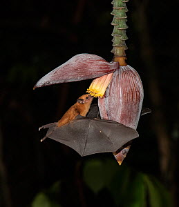 Leaf-nosed bat (Phyllostomidae sp). feeding on Banana flower at night,. Costa Rica  -  Adrian Davies