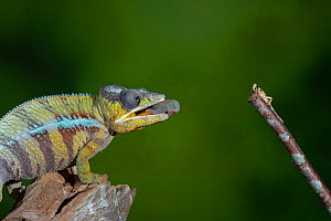 Panther chameleon (Furcifer pardalis) catching locust with tongue. Controlled conditions. Sequence 1 of 4  -  Adrian Davies