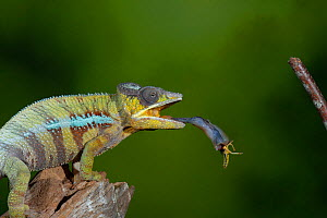 Panther chameleon (Furcifer pardalis) catching locust with tongue. Controlled conditions. Sequence 3 of 4.  -  Adrian Davies