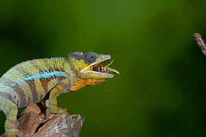 Panther chameleon (Furcifer pardalis) catching locust with tongue. High speed.Controlled. Sequence 4 of 4  -  Adrian Davies