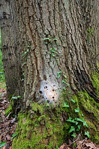 Oak processionary moth (Thaumetopoea processionea) Nest of larvae on bark of Oak tree Surrey, UK, July. - Adrian Davies