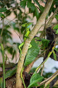 Double-crested basilisk (Basiliscus plumifrons) Costa Rica. Note tick on chin.  -  Adrian Davies