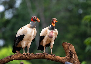 King vulture (Sarcoramphus papa) two perched on branch, Costa Rica.  -  Adrian Davies
