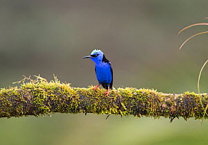 Red-legged honeycreeper (Cyanerpes cyaneus) male in breeding plumage. Costa Rica.  -  Adrian Davies