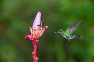 Green-Crowned brilliant hummingbird (Heliodoxa jacula) flying to flower to feed, Costa Rica  -  Adrian Davies