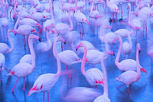 RF - Greater flamingo (Phoenicopterus roseus) flock blurred, Camargue, France.  -  Edwin Giesbers