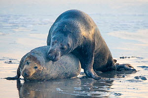 Grey seal (Halichoerus grypus), male and female mating on beach. Heligoland, Germany.  -  Edwin Giesbers