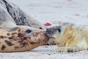 Grey seal (Halichoerus grypus), mother playing with pup, Heligoland, Germany.  -  Edwin Giesbers