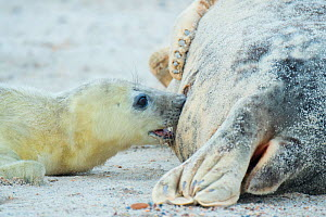 Grey seal (Halichoerus grypus), mother with suckling pup. Heligoland, Germany.  -  Edwin Giesbers