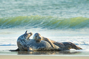 Grey seal (Halichoerus grypus) male and female, mating behaviour, Heligoland, Germany.  -  Edwin Giesbers