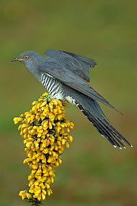 Common Cuckoo (Cuculus canorus) perched on flowering Gorse (Ulex europaeus) Surrey, England, UK. April.  -  Peter Lewis