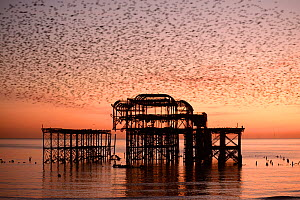 Starling (Sturnus vulgaris) murmuration at sunset, West Pier, Brighton, England, UK. - Peter Lewis