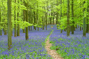Path leading through through woodland with Bluebells (Hyacinthoides non-scripta) flowering in spring, Buckinghamshire, England, UK, May.  -  Peter Lewis